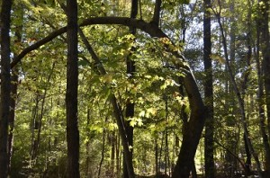 Trees in Siler City, Curved Branch